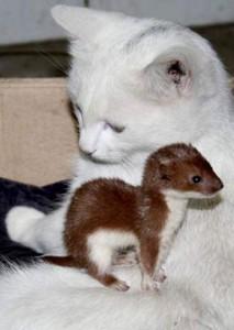 חמוס וחתול