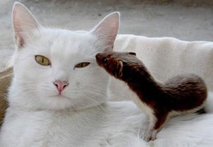 חמוס וחתול באתר בית החמוס